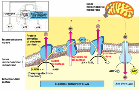electron-transport-chain-aerobic-cellular-respiration-000