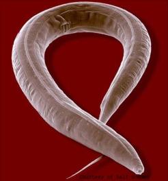 4241_Devo_Caenorhabditis elegans
